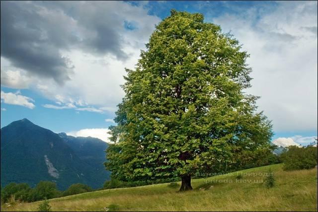 Липа дрібнолиста Tilia cordata ФОТО Розплідник рослин Природа Priroda (1)
