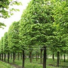 Липа дрібнолиста Tilia cordata ФОТО Розплідник рослин Природа Priroda (3)