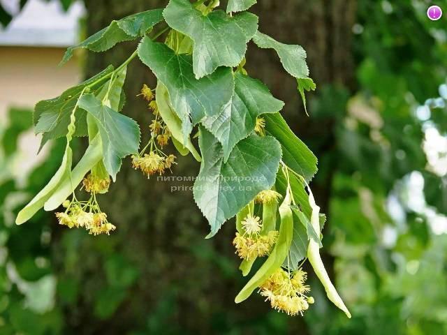 Липа дрібнолиста Tilia cordata ФОТО Розплідник рослин Природа Priroda (4)
