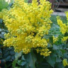 Магонія падуболистная (Mahonia aquifolium) ФОТО Розплідник рослин Природа Priroda (1)