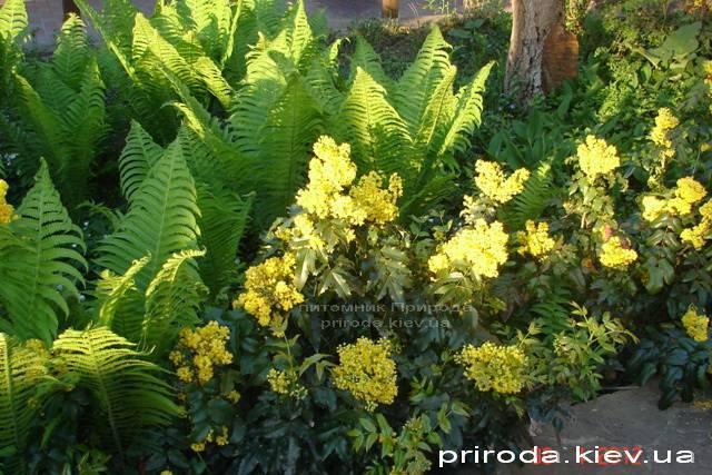 Магония падуболистная (Mahonia aquifolium) ФОТО Питомник растений Природа Priroda (10)
