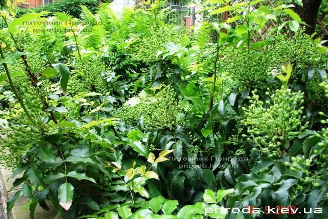 Магония падуболистная (Mahonia aquifolium) ФОТО Питомник растений Природа Priroda (11)
