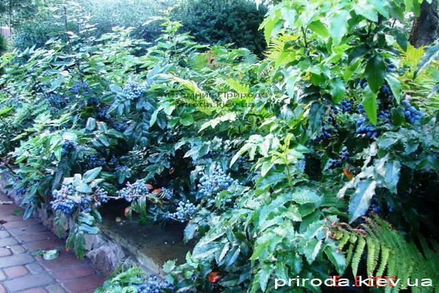Магония падуболистная (Mahonia aquifolium) ФОТО Питомник растений Природа Priroda (12)