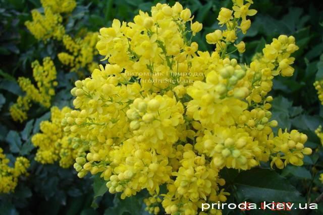 Магония падуболистная (Mahonia aquifolium) ФОТО Питомник растений Природа Priroda (2)