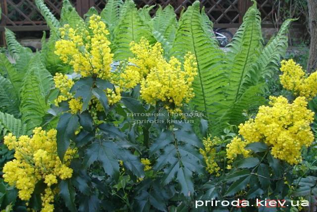 Магония падуболистная (Mahonia aquifolium) ФОТО Питомник растений Природа Priroda (4)
