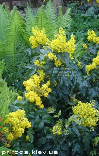 Магония падуболистная (Mahonia aquifolium) ФОТО Питомник растений Природа Priroda (5)