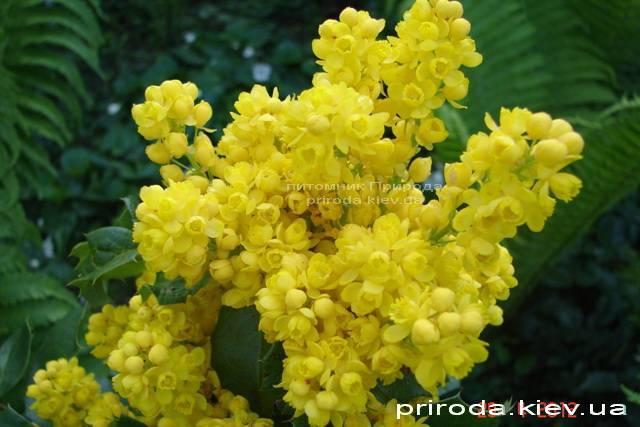 Магония падуболистная (Mahonia aquifolium) ФОТО Питомник растений Природа Priroda (6)