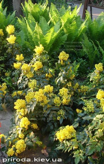 Магония падуболистная (Mahonia aquifolium) ФОТО Питомник растений Природа Priroda (9)
