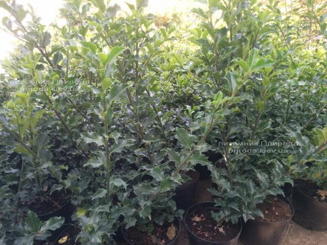 Падуб гостролистий (Ilex aquifolium) ФОТО Розплідник рослин Природа Priroda (1)