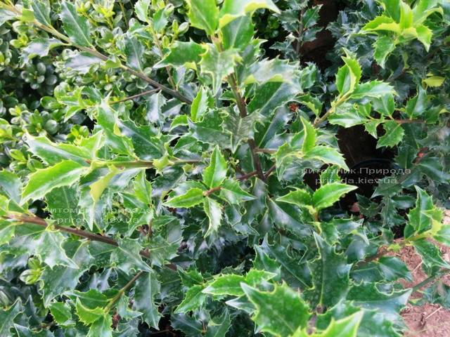 Падуб гостролистий (Ilex aquifolium) ФОТО Розплідник рослин Природа Priroda (3)