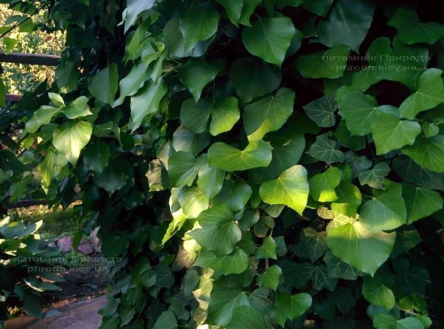 Плющ обыкновенный (Hedera helix) ФОТО Питомник растений Природа Priroda (14)