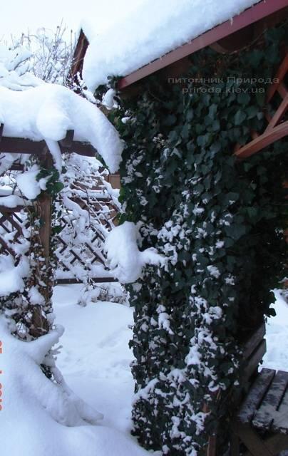 Плющ обыкновенный (Hedera helix) ФОТО Питомник растений Природа Priroda (9)