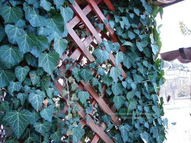 Плющ обыкновенный (Hedera helix) ФОТО Питомник растений Природа Priroda (10)