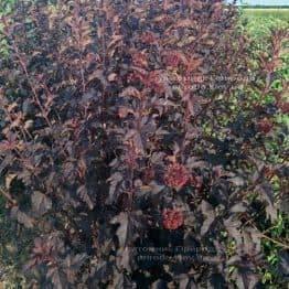 Пузыреплодник калинолистный Диаболо (Physocarpus opulifolius Diabolo) ФОТО Питомник растений Природа Priroda (1)