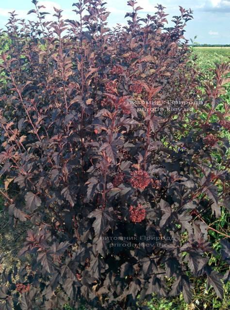 Міхуроплідник калінолістний Диаболо (Physocarpus opulifolius Diabolo) ФОТО Розплідник рослин Природа Priroda (1)
