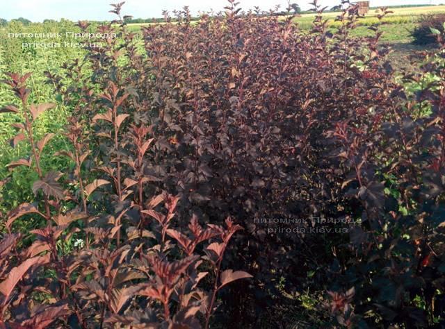 Міхуроплідник калінолістний Диаболо (Physocarpus opulifolius Diabolo) ФОТО Розплідник рослин Природа Priroda (3)
