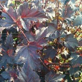 Міхуроплідник калінолістний Диаболо (Physocarpus opulifolius Diabolo) ФОТО Розплідник рослин Природа Priroda (4)