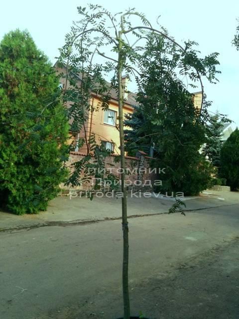Рябина обыкновенная плакучая Пендула (Sorbus aucuparia Pendula) на штамбе ФОТО Питомник растений Природа Priroda (16)