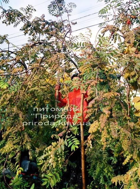 Рябина обыкновенная плакучая Пендула (Sorbus aucuparia Pendula) на штамбе ФОТО Питомник растений Природа Priroda (17)