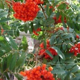 Рябина обыкновенная (Sorbus aucuparia) ФОТО Питомник растений Природа Priroda (8)