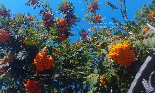 Рябина обыкновенная (Sorbus aucuparia) ФОТО Питомник растений Природа Priroda (9)