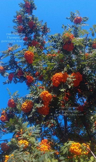 Горобина звичайна (Sorbus aucuparia) ФОТО Розплідник рослин Природа Priroda (13)
