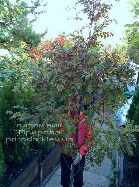 Горобина звичайна (Sorbus aucuparia) ФОТО Розплідник рослин Природа Priroda (14)