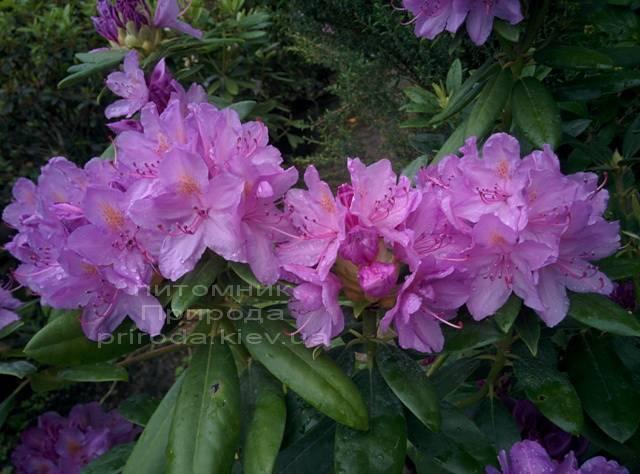 Рододендрон крупноцветковий Катебінскій Грандіфлорум (Rododendron Catawbiense Grandiflorum) ФОТО Розплідник рослин Природа Priroda (57)
