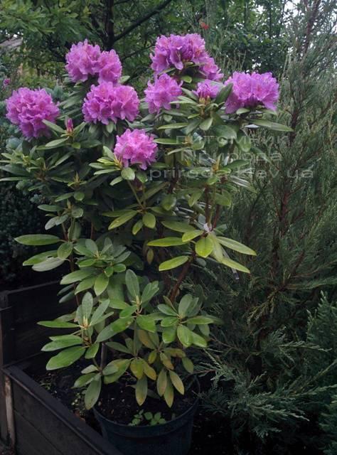 Рододендрон крупноцветковий Катебінскій Грандіфлорум (Rododendron Catawbiense Grandiflorum) ФОТО Розплідник рослин Природа Priroda (63)