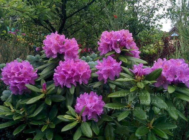 Рододендрон крупноцветковый Катебинский Грандифлорум (Rododendron Catawbiense Grandiflorum) ФОТО Питомник растений Природа Priroda (71)