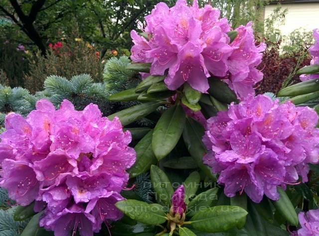 Рододендрон крупноцветковий Катебінскій Грандіфлорум (Rododendron Catawbiense Grandiflorum) ФОТО Розплідник рослин Природа Priroda (64)