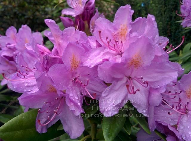 Рододендрон крупноцветковий Катебінскій Грандіфлорум (Rododendron Catawbiense Grandiflorum) ФОТО Розплідник рослин Природа Priroda (58)