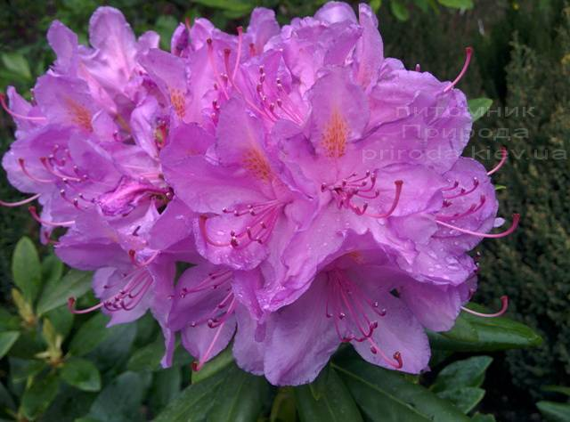 Рододендрон крупноцветковий Катебінскій Грандіфлорум (Rododendron Catawbiense Grandiflorum) ФОТО Розплідник рослин Природа Priroda (59)
