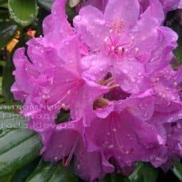 Рододендрон крупноцветковий Катебінскій Грандіфлорум (Rododendron Catawbiense Grandiflorum) ФОТО Розплідник рослин Природа Priroda (67)