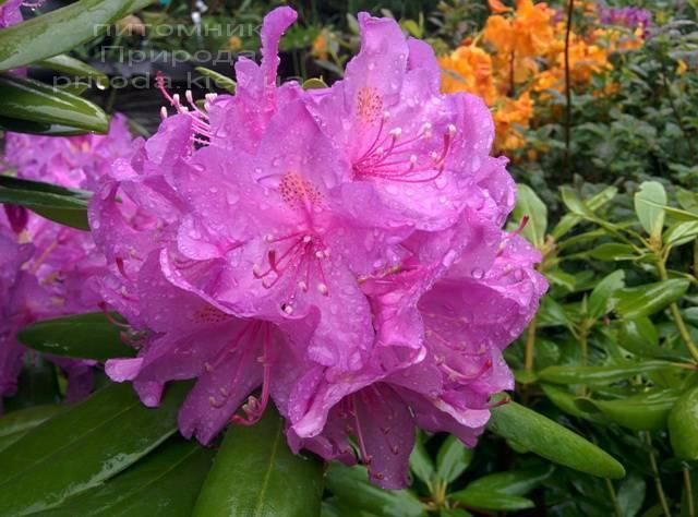 Рододендрон крупноцветковий Катебінскій Грандіфлорум (Rododendron Catawbiense Grandiflorum) ФОТО Розплідник рослин Природа Priroda (61)