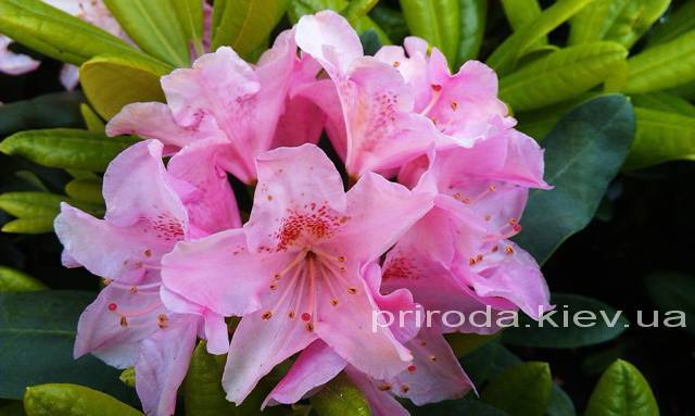 Рододендрон крупноцветковый Хельсинки Юнивесити (Rododendron Helsinki University) ФОТО Питомник растений Природа Priroda (51)