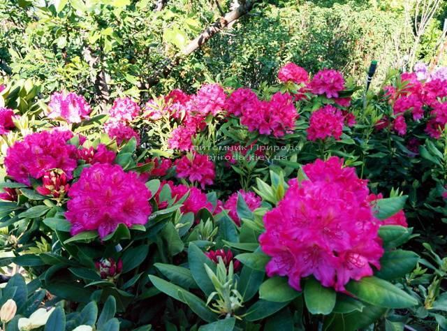 Рододендрон крупноцветковый Американ Бьюти (Rododendron Pearces American Beauty) ФОТО Питомник растений Природа Priroda (54)