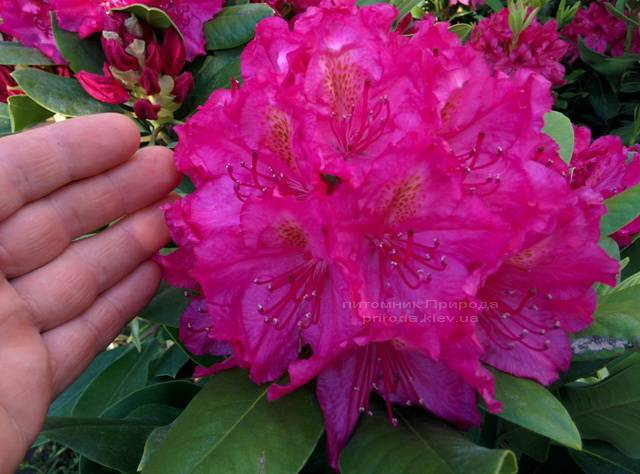 Рододендрон крупноцветковый Американ Бьюти (Rododendron Pearces American Beauty) ФОТО Питомник растений Природа Priroda (55)