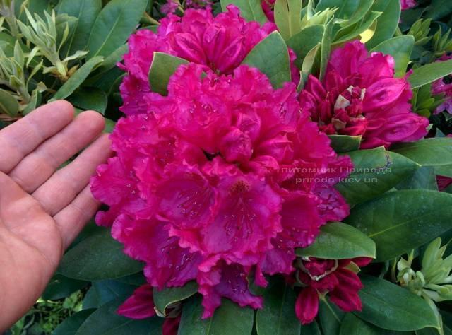Рододендрон крупноцветковый Американ Бьюти (Rododendron Pearces American Beauty) ФОТО Питомник растений Природа Priroda (56)