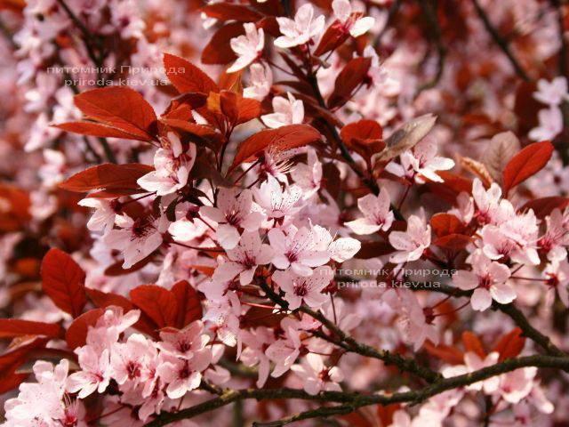 Слива растопыренная Нигра/Nigra (Prunus cerasifera Nigra) ФОТО Питомник растений Природа Priroda (8)