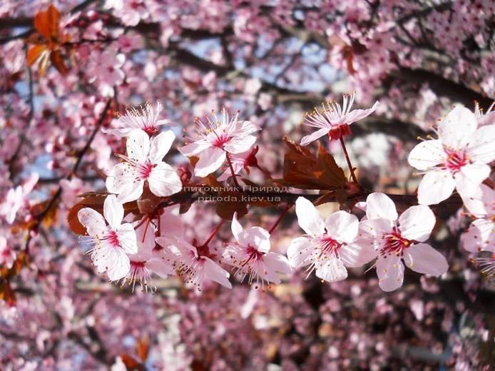 Слива растопыренная Нигра/Nigra (Prunus cerasifera Nigra) ФОТО Питомник растений Природа Priroda (11)