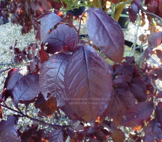 Слива растопыренная Нигра/Nigra (Prunus cerasifera Nigra) ФОТО Питомник растений Природа Priroda (13)