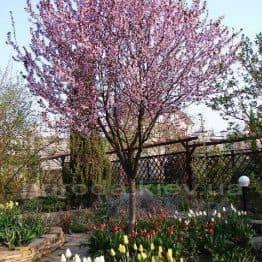 Слива растопыренная Писарди/Pissardii (Prunus cerasifera Pissardii) ФОТО Питомник растений Природа Priroda (4)