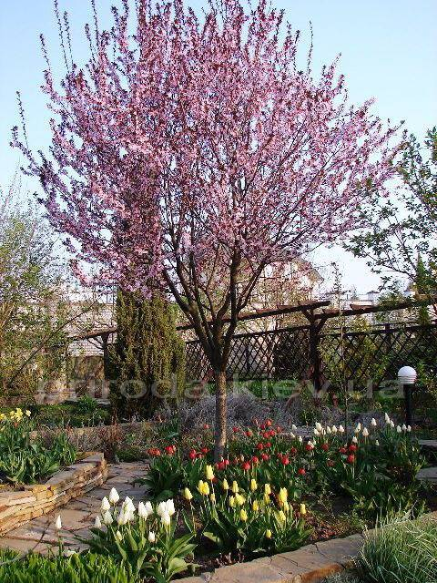 Слива розчепірена Пісарді / Pissardii (Prunus cerasifera Pissardii) ФОТО Розплідник рослин Природа Priroda (4)