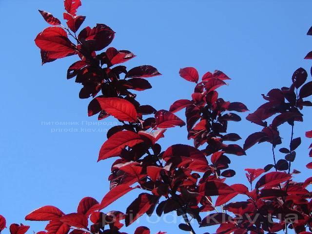 Слива розчепірена Пісарді / Pissardii (Prunus cerasifera Pissardii) ФОТО Розплідник рослин Природа Priroda (5)