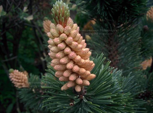 Сосна горная (Pinus mugo) ФОТО Питомник растений Природа Priroda (17)