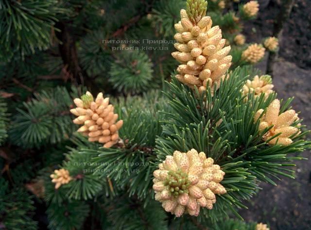 Сосна горная (Pinus mugo) ФОТО Питомник растений Природа Priroda (19)