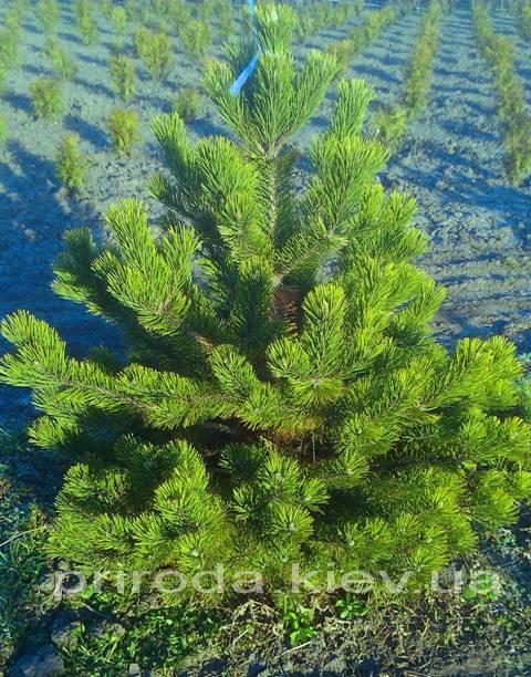 Сосна горная (Pinus mugo) ФОТО Питомник растений Природа Priroda (9)