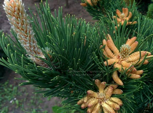 Сосна горная (Pinus mugo) ФОТО Питомник растений Природа Priroda (16)