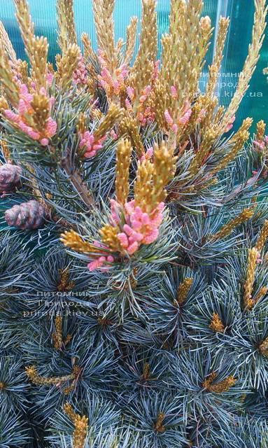 Сосна мелкоцветковая Негиши (Pinus parviflora Negishi) ФОТО Питомник растений Природа Priroda (31)